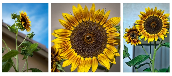 3 Sunflowers-1