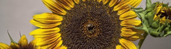 cropped-sunflower-_bee-1-1-of-11.jpg