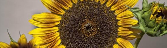 cropped-sunflower-_bee-1-1-of-11.jpg