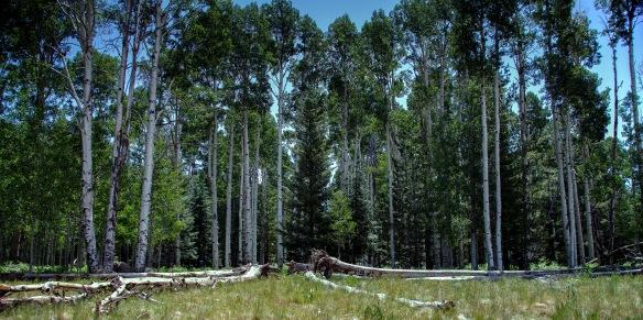 Birch_Trees_1x2j (1 of 1)