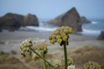 Oregon Coast Wildflowers