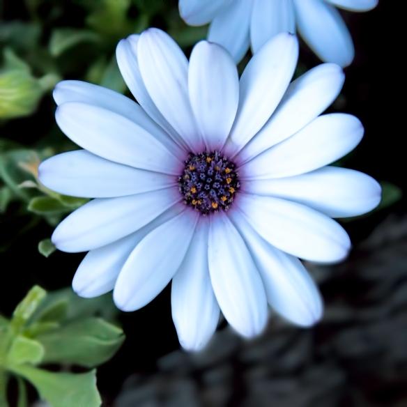 African Daisy 1j