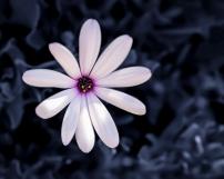 African Daisyj clr+b&w (1 of 1)