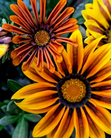 Multiple Gazanias 1j (1 of 1)