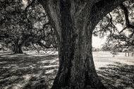 LSU Campus Trees